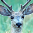 Mule Deer Nebraska