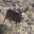 Mule Deer death fight3