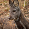 Researchers found multiple sightings of the Kashmir musk deer during a 2008-09 search in Afghanistan, the first sighting in 60 years. (Photo: Wikipedia)