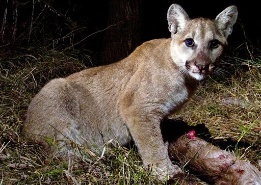 Three mountain lion cubs and their mother took apart a deer carcass pretty easily. They'll be playful until they get older but will learn to hunt from their mother. (Photo: NPS)