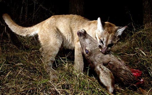 A mountain lion cub works on a deer in the Malibu Creek State Park in California, part of about 350 photos caught on a game camera. (Photo: NPS)