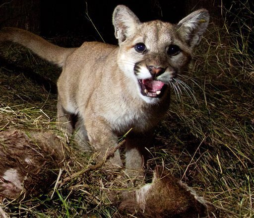 Curious about the game camera flash or noise? Apparently so, as this mountain lion cub looks at the camera to investigate. (Photo: NPS)