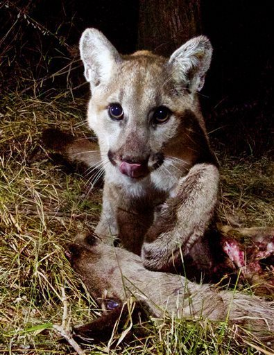 The game camera apparently triggered this inquisitive response from the mountain lion. (Photo: NPS)