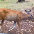 This deer in Oregon was infected with EHD in an area previously without the disease.