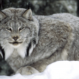 The Canada Lynx is found in some parts of the United States, including Maine, where a lawsuit was being fought against animal rights organizations about incidental take by trappers. (PHOTO:  USFWS Digital Library)