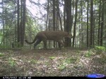 mountain lion trail camera