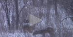 wintering doe