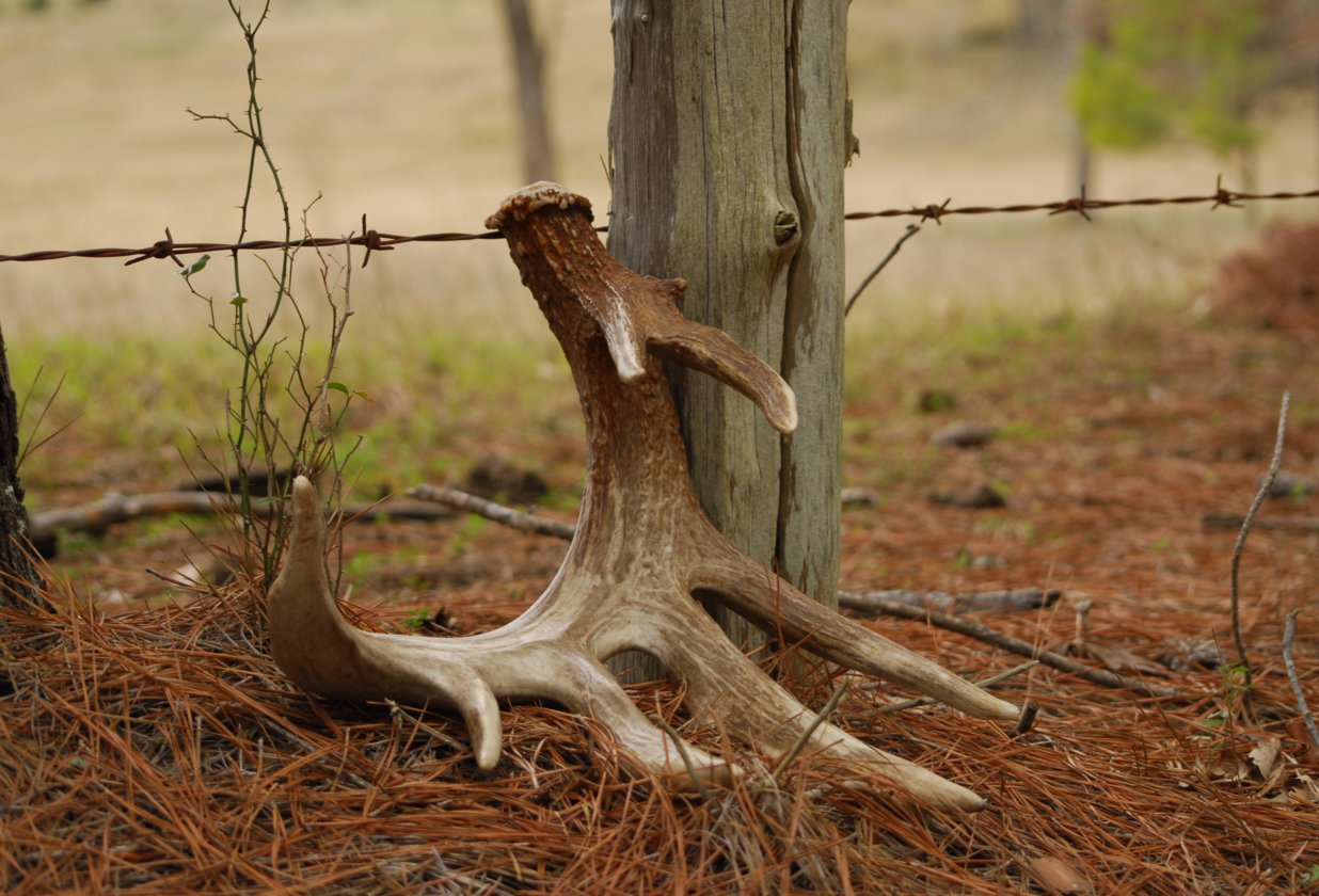 Seeking the Crown: The Hunt for Shed Antlers - Deer & Deer ...