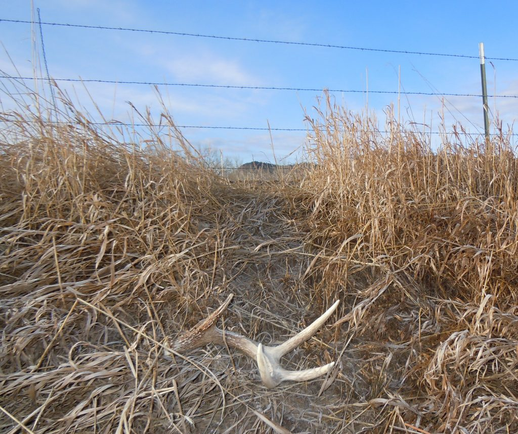 Fence rows, especially those with known trails and crossings, are good locations to look for sheds. When bucks are shedding antlers and jump over the fence, the antlers may fall off! (PHOTO: Copyright Mark Kayser)