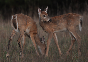 Fawn production and survival is highly dependent upon the mother's physical well-being in late winter. (D&DH photo)