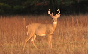 Some Northern deer hunters will be hard pressed to see adult bucks in the next few seasons. In some areas, three entire age classes will be affected by the past two brutal winters. (D&DH photo)