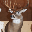 "This is the buck, as displayed at the 2011 Illinois Deer Classic. The entry card read, ""Archery - Marc Anthony, Goodfield, Schuyler County, 12-pointer, 2010, 187-4/8."" Photo courtesy of Jeff Lampe, www.heartlandoutdoors.com. Lampe broke the story on the controversy last Saturday."