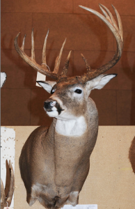 """This is the buck, as displayed at the 2011 Illinois Deer Classic. The entry card read, """"Archery - Marc Anthony, Goodfield, Schuyler County, 12-pointer, 2010, 187-4/8."""" Photo courtesy of Jeff Lampe, www.heartlandoutdoors.com. Lampe broke the story on the controversy last Saturday."""