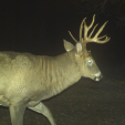 Spook a buck one time, and he will most likely adopt nocturnal behavior for at least a little while.