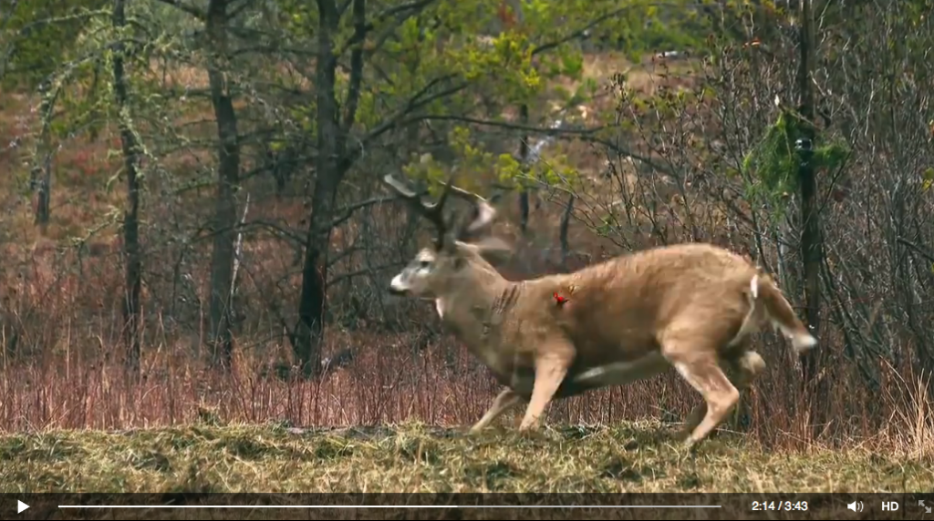 Nicole Reeve's arrow strikes this buck high through the lungs. He ain't going far! (courtesy of Driven TV)