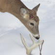 Now that we are in March, most white-tailed bucks have shed their antlers. (Deer & Deer Hunting photo)