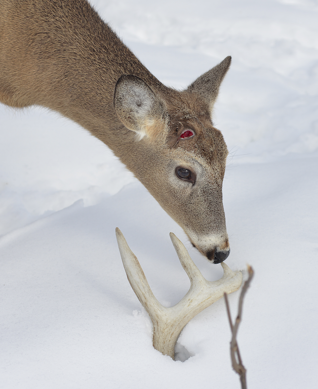 When Do Whitetails Shed Their Antlers 28 Images Why