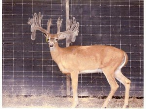Texas Deer Breeding - whitetail hunting - white-tailed deer