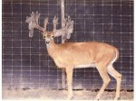 Texas Deer Breeding - whitetail deer hunting