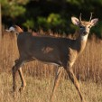 Spike buck