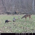 Deer and turkeys often hang out together because they enjoy the same areas and food.
