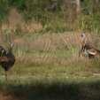 Osceola turkeys offer hunters a great challenge in tough conditions. (Photo: NWTF)