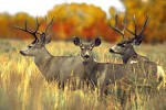Texas Mule Deer