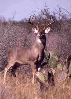 Deer in south Texas live on tough land whether on open range or in high-fence enclosures. (Photo: Texas Parks and Wildlife Department)