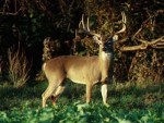 Texas deer