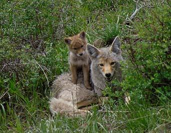 Utah Coyote