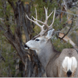 Utah's biologists are keeping an eye on state mule deer populations this winter. (Photo: Brent Stettler)
