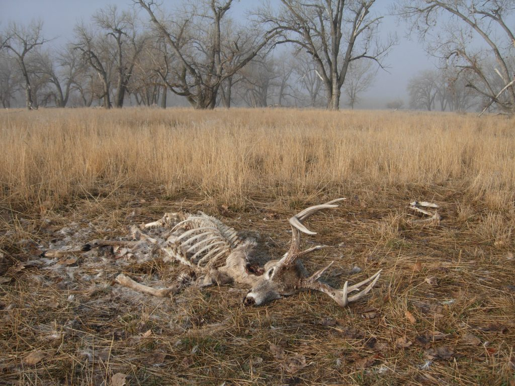 While shed hunting ,the author found this whitetail buck dead and scavenged by coyotes. (Photo: Mark Kayser)