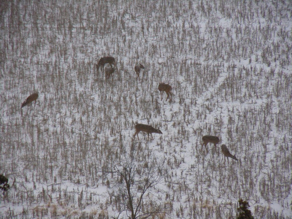 Whitetail deer in soybean field in late winter. (Photo by Mark Kayser)