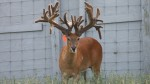 Giant bucks bred to grow large antlers through genetics and supplemental feeding programs continually spark debate within the hunting community. (Photo: WhitehouseWhitetails.com)