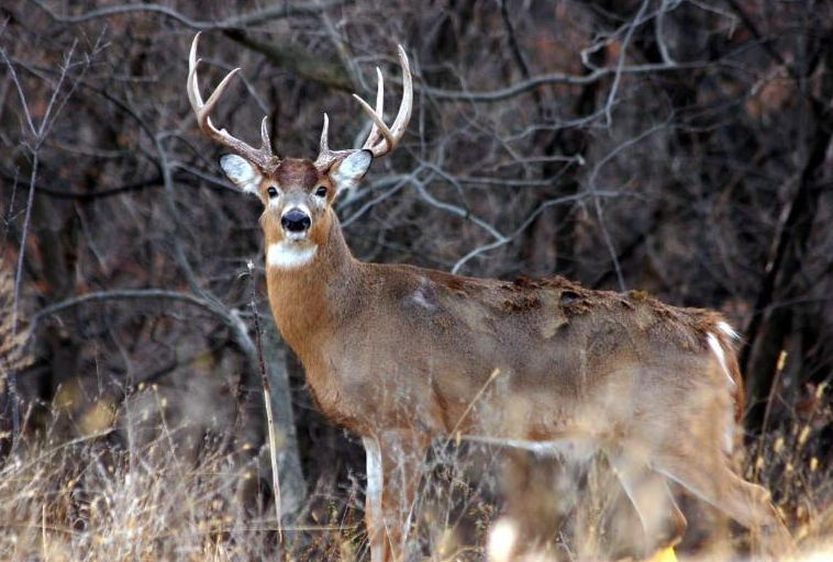 Whitetail Buck Deer (Photo by NPS)