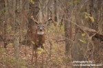 Whitetail Deer 2380