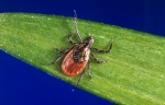 Lyme disease is spread by infected ticks that find and bite a host.
