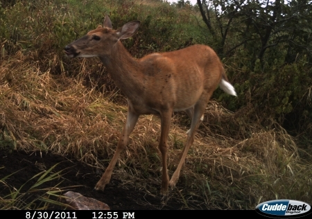 Yearling whitetail buck. Photo courtesy of Brad Rucks.