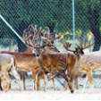 Captive deer would have been reclassified as livestock under a bill that was vetoed by Missouri Gov. Jay Nixon. Missouri's legislature failed to override the veto by one vote.
