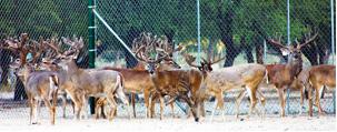 captive deer