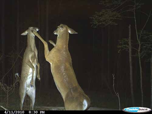 Bucks boxing after antler drop