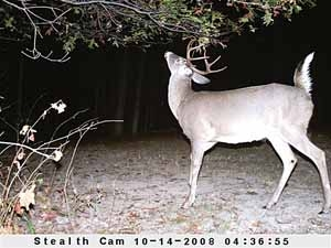 Whitetail deer rut lure