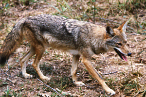 Coyotes have great eyesight and hearing, so concealment of your setup is paramount. (Photo: TWRA)