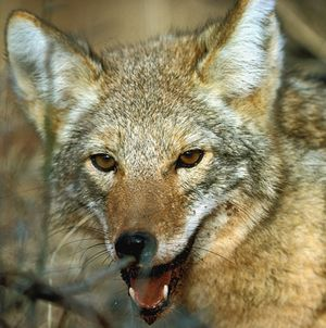 Coyote management should be a year-round part of a deer management plan. (Photo: TPWD)