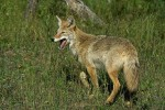 Just a whiff of a hunter's odor could be enough to send a coyote running the opposite direction from your hide.