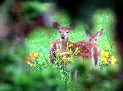 deer flowers