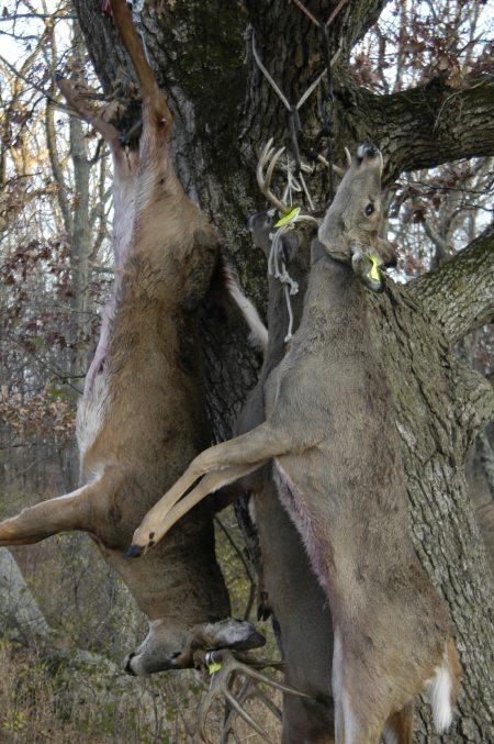 deer hanging