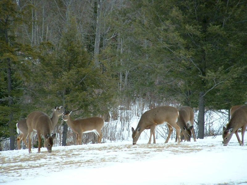 white-tailed deer feeding deer and deer hunting