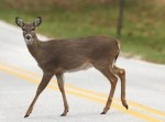 deer_on_road_20111025_2036230737