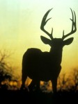 sunset buck silhouette